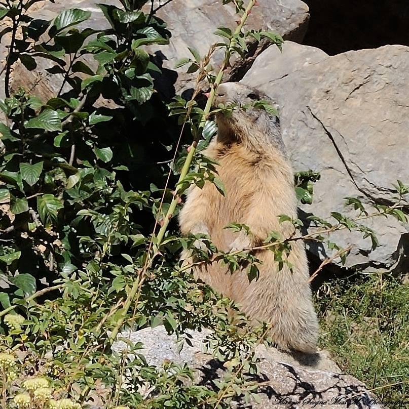 A Quérigut, on y voit souvent la marmotte pointer le bout de son nez